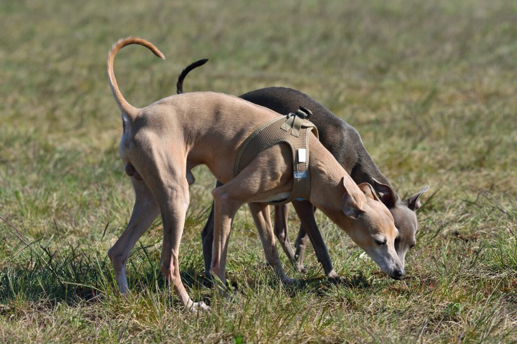 Two Italian Greyhound dogs on a rural background